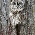 Grey Owl in Spring