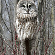 Grey Owl in Spring