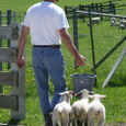 Lambs #1