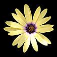 """Osteospermum """"Summerdaisy's Alexander"""""""
