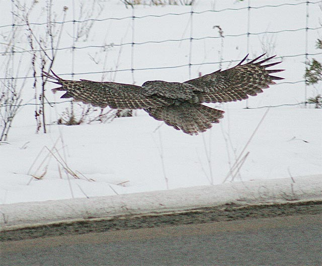 Great Grey Owl #3