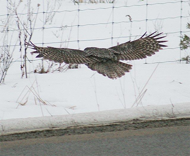 Great Grey Owl #3
