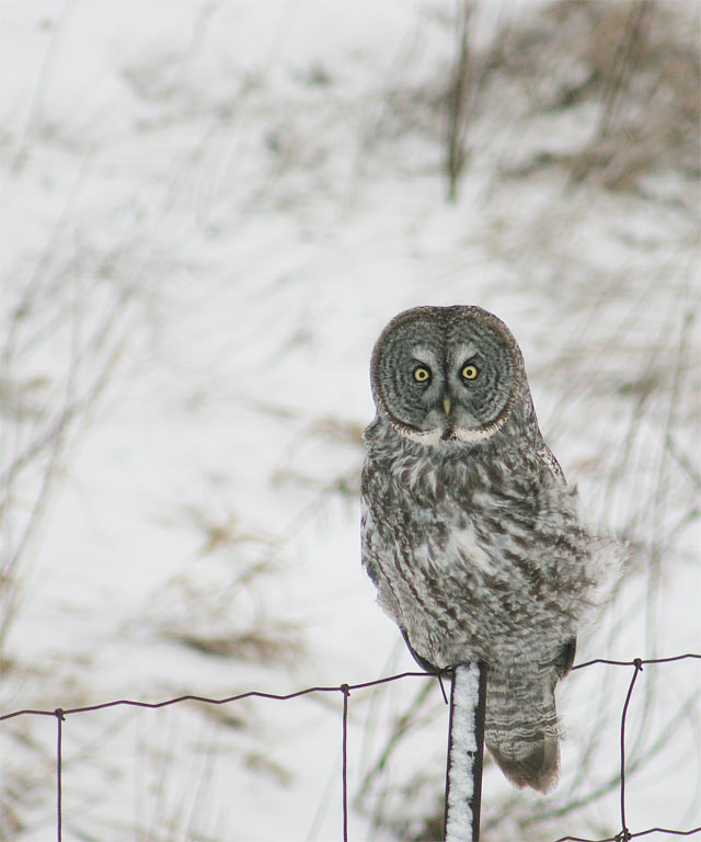 Great Grey Owl #6