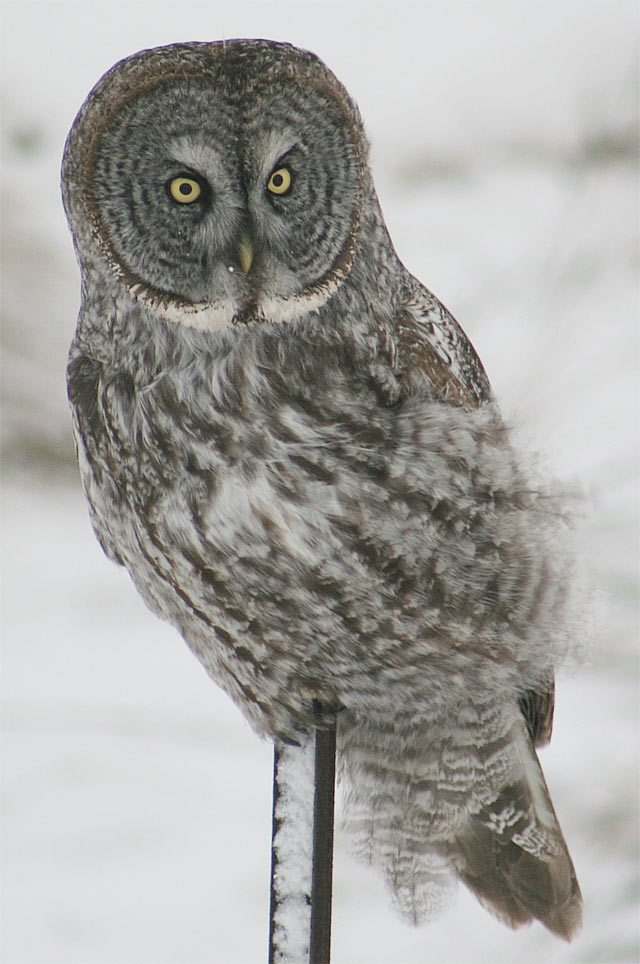 Great Grey Owl #8