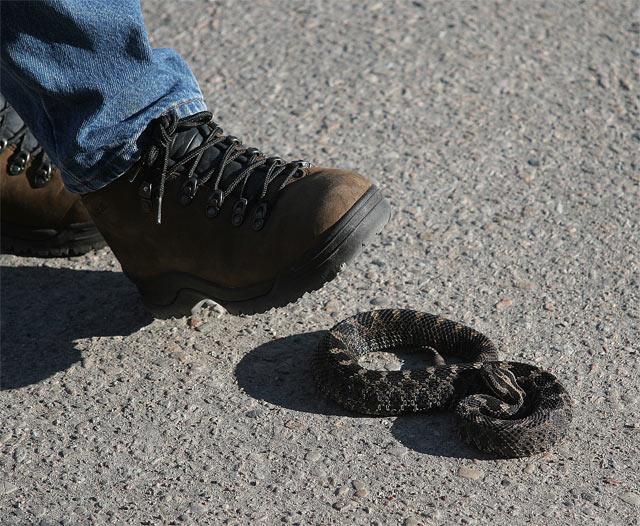 Massasauga Rattlesnake #1